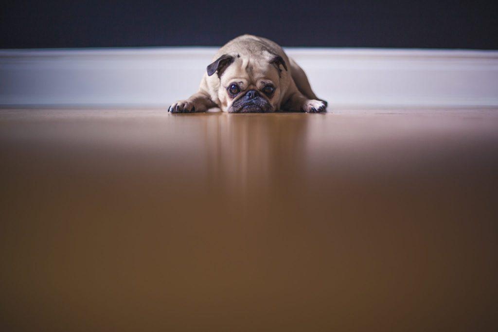 Sulky pug dog
